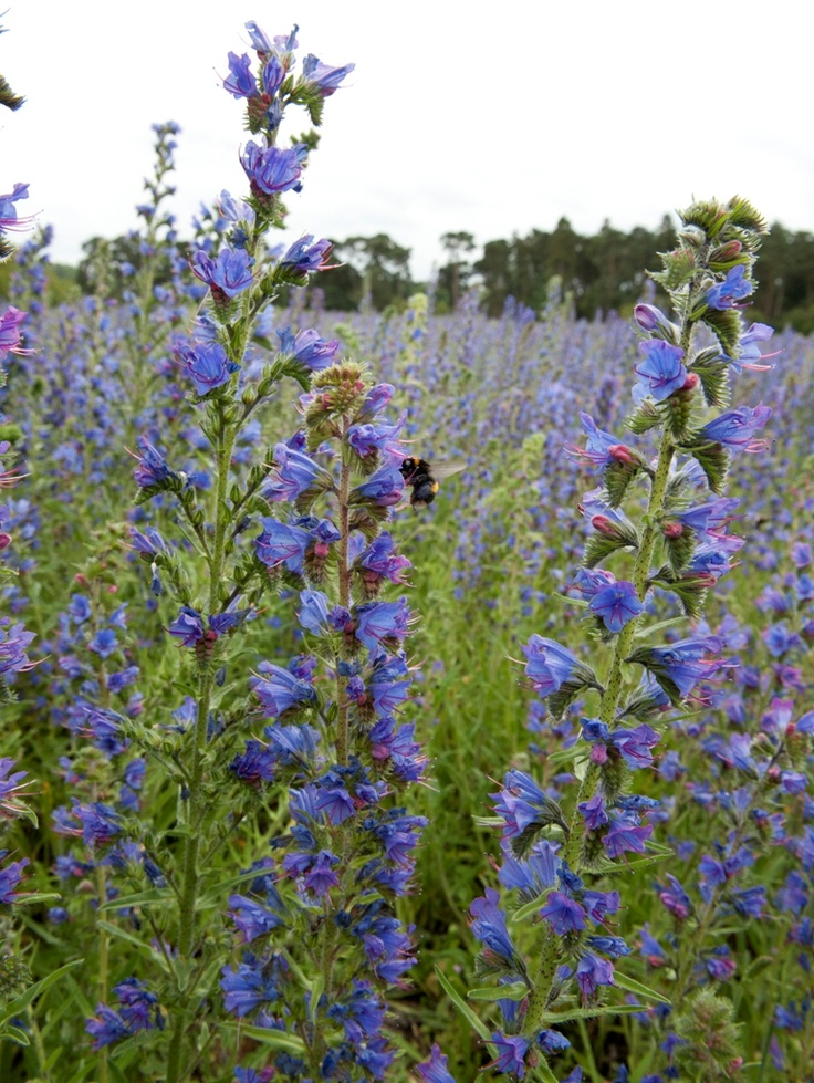 A wildflower meadow of Echium vulgare Viper's Bugloss - a feast for bees