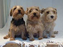 Lucas terriers - best dogs in the world