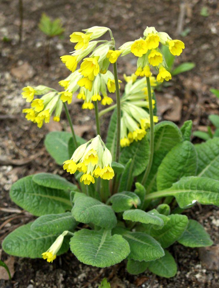 Kevätesikko - Primula veris