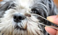 Natural Tick Treatments for Dogs (With Anti-Lyme's Bite Recipe)