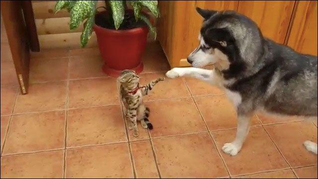 ルームメイトのネコにかまって欲しくてたまらないシベリアン・ハスキーの動画 - DNA