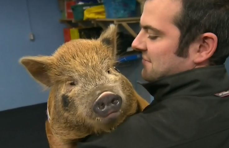Yes, That's a Pig in a Dog Obedience Class