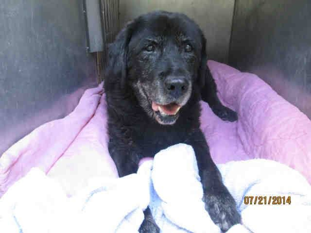 W. Valley, Chatsworth, , CA: 14 Y.O. SPAYED FEMALE LAB AVAILABLE NOW!! ****HAS NOTHING!!!**** NO PLEDGES, NO RESCUE. HELP!!!  This DOG - ID#A1494920 I am a spayed female, black and gray Labrador Retriever. The shelter thinks I am about 14 years old. West Valley Animal Care and Control Center at (888) 452-7381 https://www.facebook.com/photo.php?fbid=10204101415886292&set=a.1295670362480.2043907.1551980946&type=1&comment_id=10204102197305827&ref=notif&notif_t=comment_mention