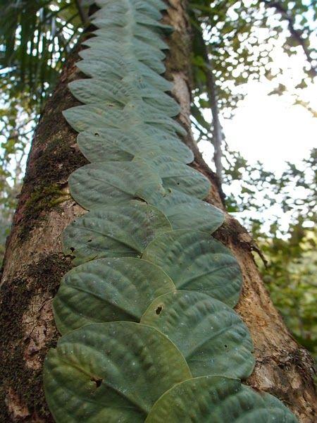 Rhaphidophora (korthalsii ?)