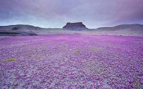 Desierto florido, Copiapò, Norte de Chile