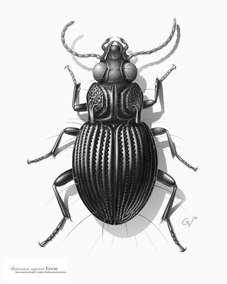 Drawing of a Carabid beetle from South America. Credit: Image by George Venable
