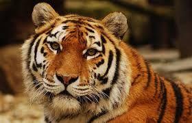 Tygr - Sibiř až Jáva a Bali