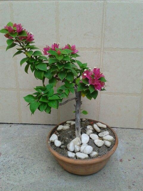 Trinitaria bonsai