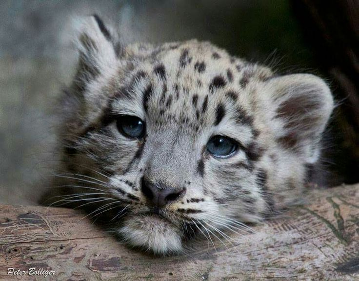 Baby Snow Leopards With Blue Eyes | www.pixshark.com ...