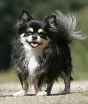 It is a Pomeranian[longhaired] Chihuahua. I have one
