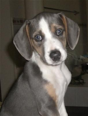 Misty Blue was sold to us as a blue beagle.  We are sure she is a whippet x beagle (Whiggle} and we love her. The whippet temperament is a bonus.