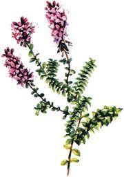 Maria Treben Herbs - THYME, WILD THYME