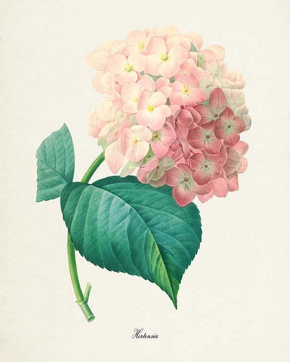 This is a print of a hortensia hydrangea flower based on the artwork of Pierre-Joseph Redouté from the 1800s. Redouté was considered one of the greatest botanical illustrators of all time. The original art has been cleaned up and enhanced to create an attractive display piece for your home or office.  The image is printed on professional, acid free, archival matte fine art paper giving the image rich and vibrant colors.  Prints are packaged in acid-free, moisture resistant sleeves, and…