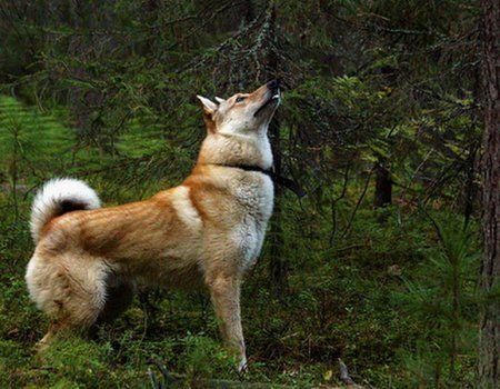 Главные качества для охотничьей лайки  Лайка, которую выбирает для себя охотник, должна обладать целым набором необходимых качеств, от которых напрямую завит результат охоты. Некоторые качества считаются врожденными, некоторые приобретаются регулярными тренировками. Но и врожденные таланты необходимо развивать.  Чутье Под этим термином понимается комплекс трех чувств: слуха, обоняния и зрения. Зрение у лаек сравнительно слабое – видят они недалеко и гораздо лучше различают движущегося…