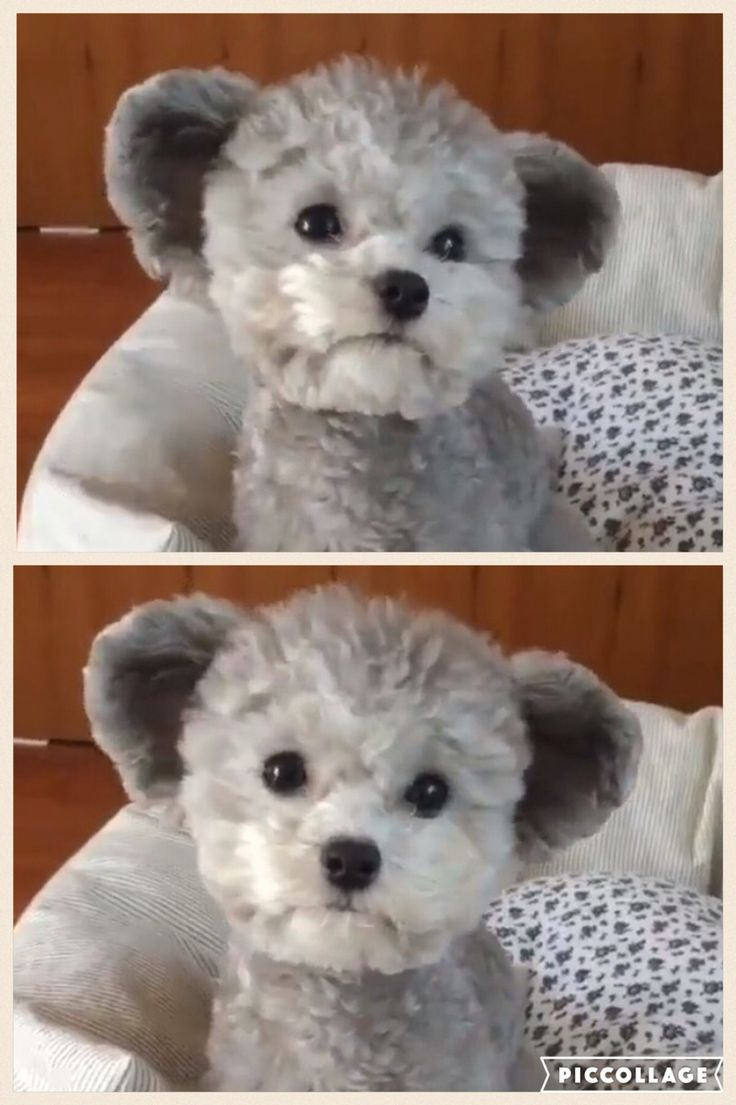 Poodle...I think they cut the ears to make him look like a teddy bear...poor pup :'(