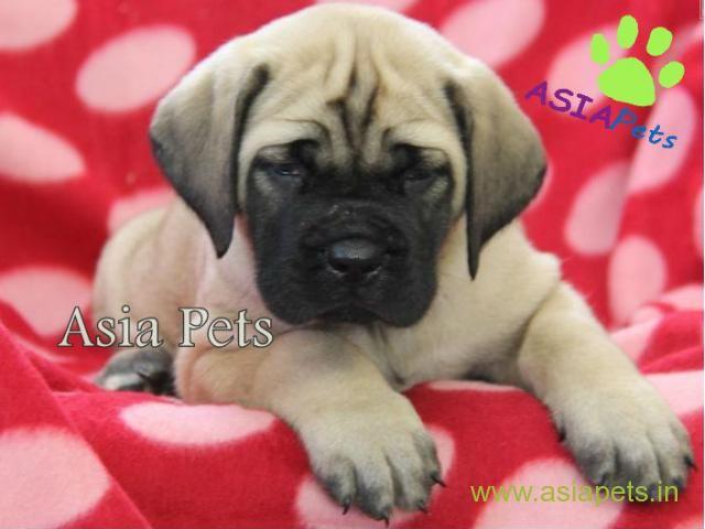 English Mastiff Puppy For Sale In Kolkata At Best Price Mastiff