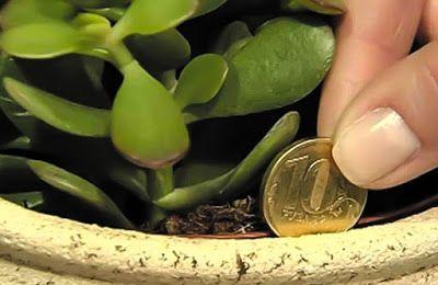 Толстянка — растение, привлекающее магию денег в дом. Согласно фэншуй, стоит лишь поселить денежное дерево в жилище, как твое финансовое