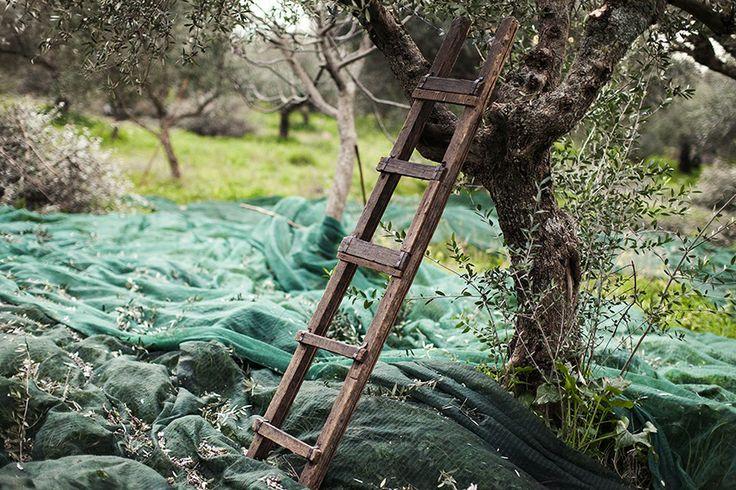 Olive Harvesting the traditional way - Andelea Estate Premium Extra Virgin Olive Oil