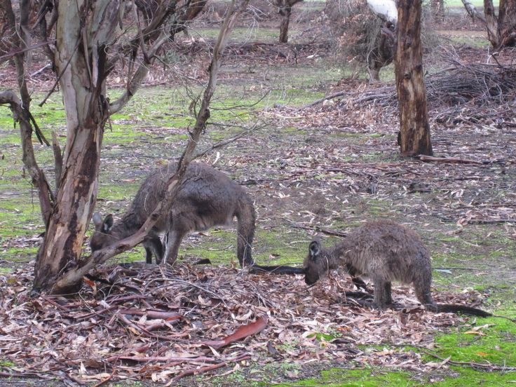 Kangaroo Island kangaroos!