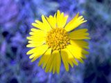 Huisache daisy, Butterfly daisy, Honey daisy