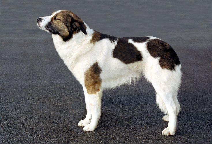 Aïdi Middelgrote, rustieke, beweeglijke hond met groot zelfvertrouwen. Krachtig gebouwd zonder grof te zijn.  Zeer dikke vacht, circa 6 cm lang; in gezicht en op oren kort en fijn; op en rond de hals moet zich een kraag vormen. Wit of crème. Wolfsgrijs of wit met grijze vlekken komt voor.  De schofthoogte van de Aïdi ligt tussen de 50 cm en 60 cm. Het gewicht varieert van 30 kg tot 40 kg.