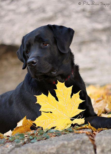 Gorgeous Black Labrador Retriever / Pet Photography / Fall Photo Session Idea / Autumn / Lab