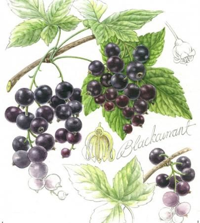 Petula Stone - Botanical Illustration
