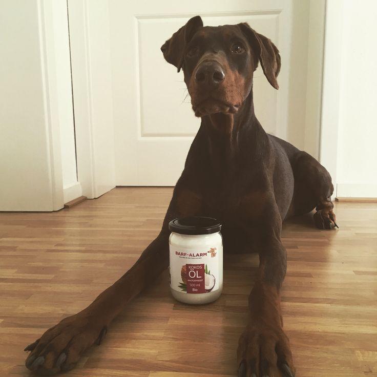 100% Bio Kokosöl für Tiere - Kokosnussöl Kokosfett für Ihren Hund als natürlicher Schutz gegen Zecken, Milben, Parasiten, Läuse und Flöhe - Kaltgepresste native Herstellung