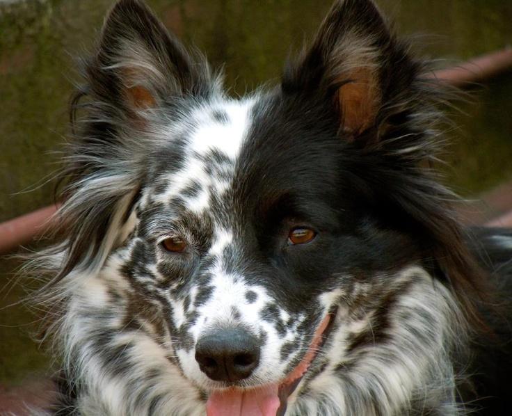 Red heeler border collie puppies