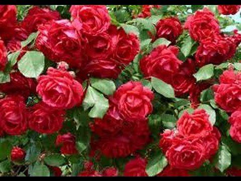 Cultivo de Rosas para Exportación - TvAgro por Juan Gonzalo Angel - YouTube