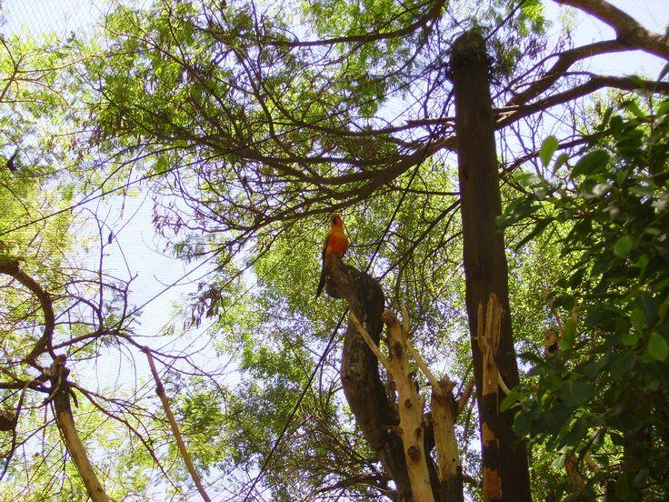Jacaranda Tree- Malelanie near Kruger National Park