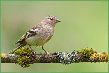 Identifying New Zealand Birds. Female Chaffinch.