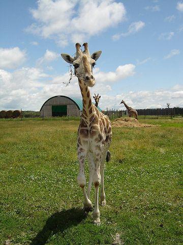 40 Fotos de Bebé De Las jirafas