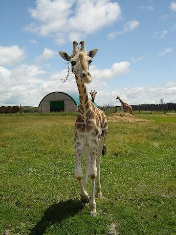 Since tiny giraffes are all the rage thanks to those DirecTV ads, here are a bunch of real life mini-raffes. Giraffes are weird and beautiful creatures. Kind of lIke elongated goats.