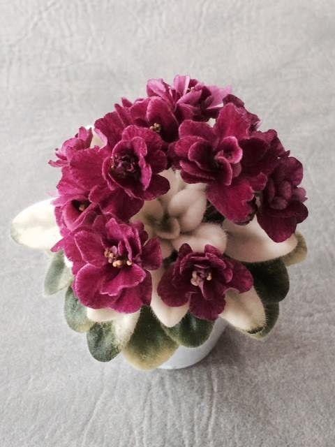 Hoovers Hybrids: Jolly Bunny (H. Pittman) Если попадется, не упущу возможность взять. Хорошо, если прежде попадутся отзывы - крайне нежелательно, если цветки будут выгорать-блекнуть по мере цветения. В этом случае от сорта откажусь.