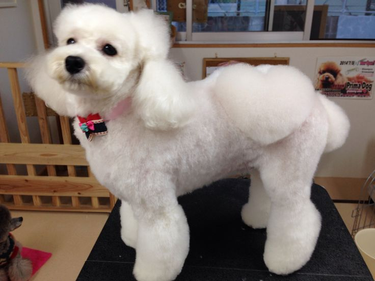 Cawaii?♥️ #poodle #barboncino