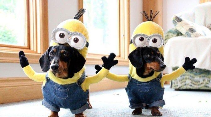 A legcukibb kutya jelmez: Tacskók, minonoknak öltözve