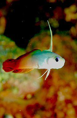 Le POISSONde feu ou gobie de feu  est un petit poisson qui s'adapte très bien à la vie dans un bac récifal. C'est un poisson idéal pour un débutant en aquariophilie marine par sa maintenance très facile.