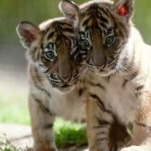 : Twin, Wild Cat, Big Cat, Animal Photography, Tiger Cubs, Baby Tigers Cubs, Wildlife Lion, The Zoos, Beautiful Baby