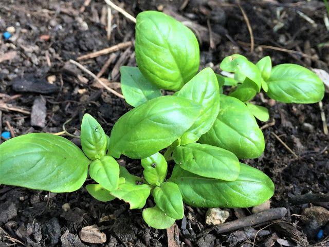 Feines Basilikum Pesto Basilikum Basilikum Pesto Und Pflanzen