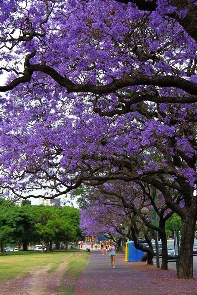 17 best images about jacaranda on pinterest for Planta ornamental jacaranda
