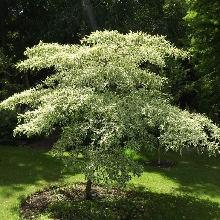 Cornus Controversa Variegata This Outstanding Tree