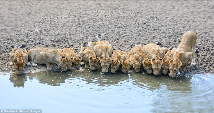 Lapping it up: A pride of lions made the arduous journey in the midday heat to…