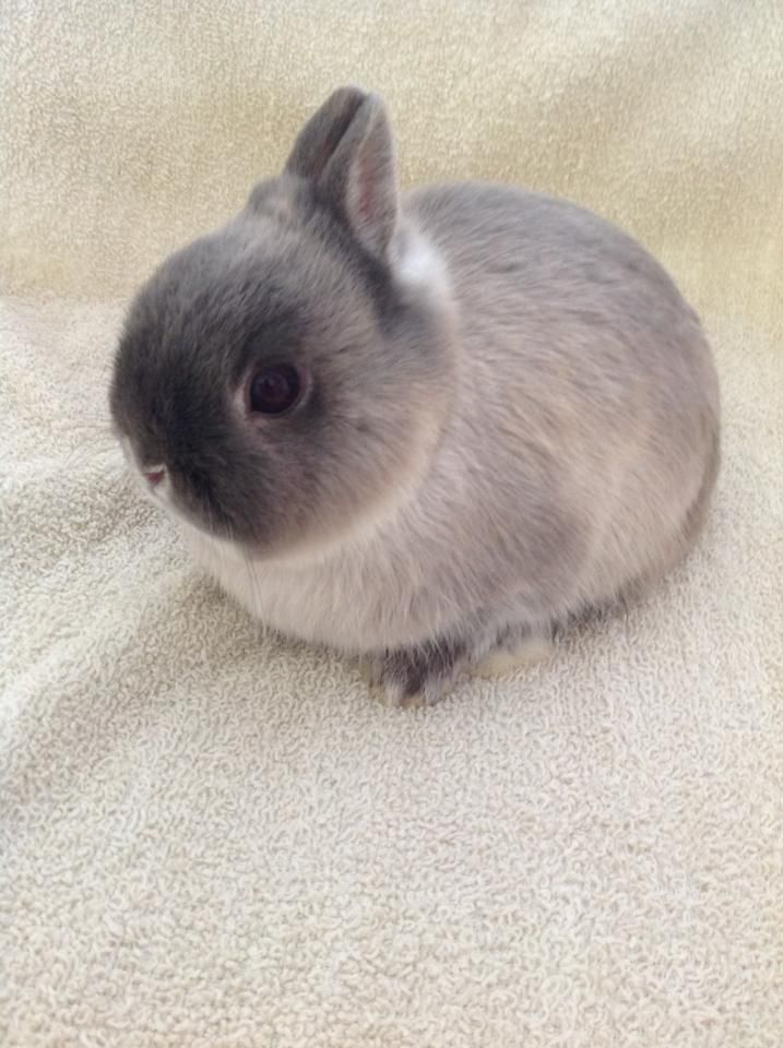 pictures of miniature live neterland rabbits | Bran , My Netherland Dwarf, Siamese Smoke Pearl Buck. Born October 20 ...