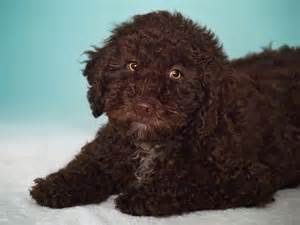 Dog Breeds Spanish Water Dog | Dog Breeds Picture