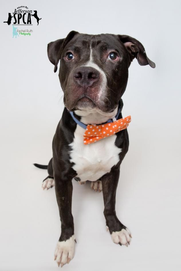 Meet Ace, an adoptable American Staffordshire Terrier looking for a forever home. If you're looking for a new pet to adopt or want information on how to get involved with adoptable pets, Petfinder.com is a great resource.