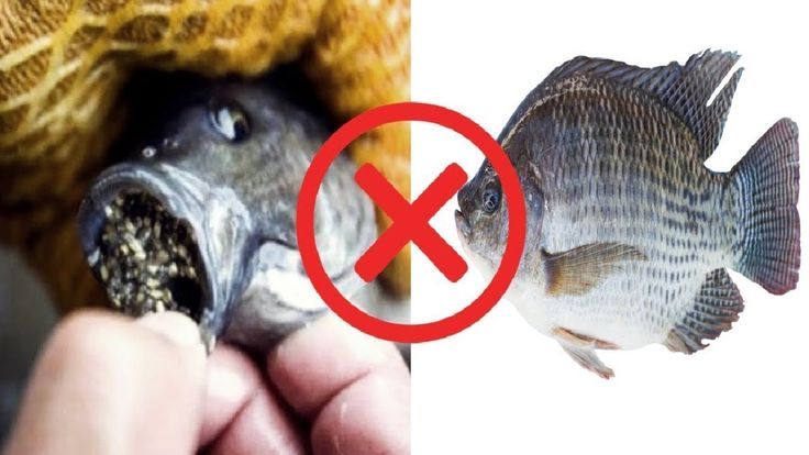 Tilapia Warning!! 4 Proven Reasons Why You Should Never Eat Talapia (Exp...