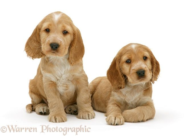 golden cocker spaniel puppies fluffy friends pinterest best 25 golden cocker retriever ideas on pinterest