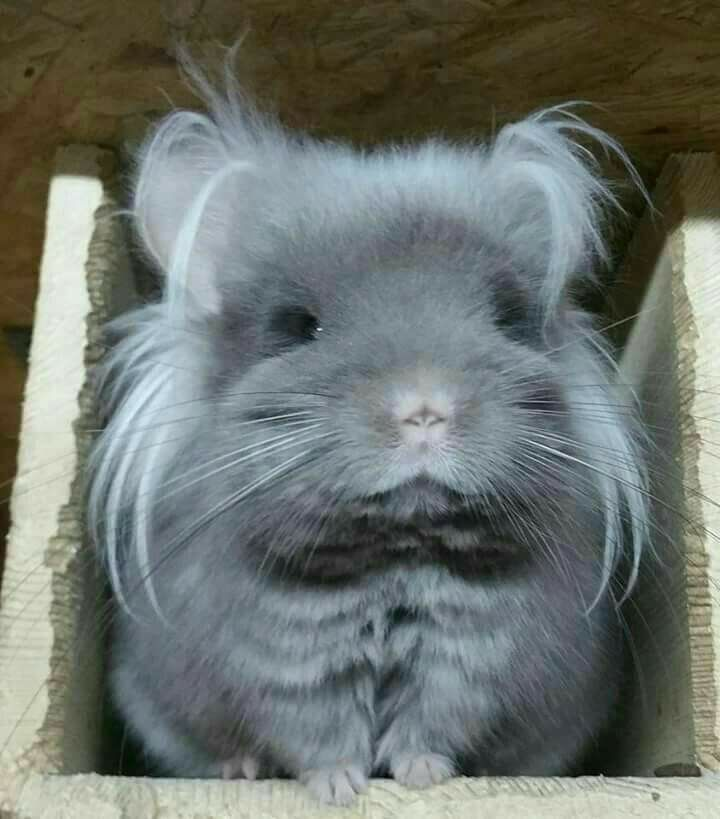 What Can Chinchillas Be Colors