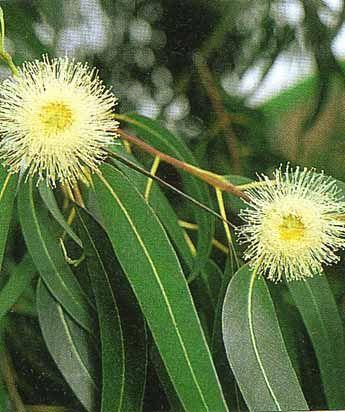 Ο Ευκάλυπτος ή Eucalyptus globulus είναι γνωστός για τις ευεργετικές του ιδιότητες στο αναπνευστικό σύστημα γιατί διευκολύνει και απελευθερώνει την αναπνοή. Προστατεύει από ασθενείς ιούς, ενδυναμώνει το ανοσοποιητικό σύστημα και δρα ως γενετικό τονωτικό.